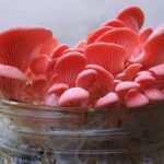 PilzWald Pilzzucht Rosenseitling Bacon Pilze züchten - Aromatische Speisepilze selber anbauen und züchten